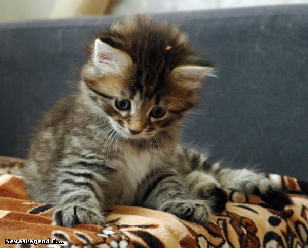 gatito-siberiano1