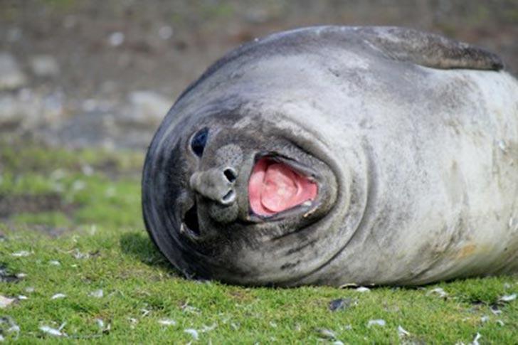 animales-foca-risa